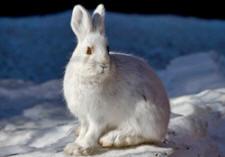 Arctic Animals - a list of North Polar animals