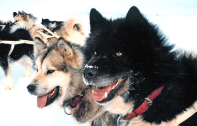 New Zealand dog team at Scott base Antarctica 1978, picture courtesy NOAA