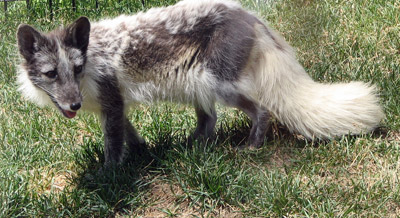 Arctic Fox Facts and Adaptations - Vulpes lagopus / Alopex ...
