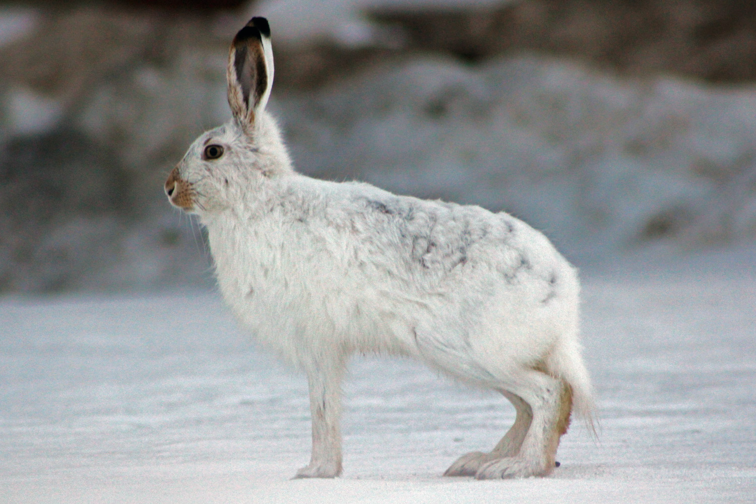 arctic hare facts and adaptations lepus arcticus. Black Bedroom Furniture Sets. Home Design Ideas
