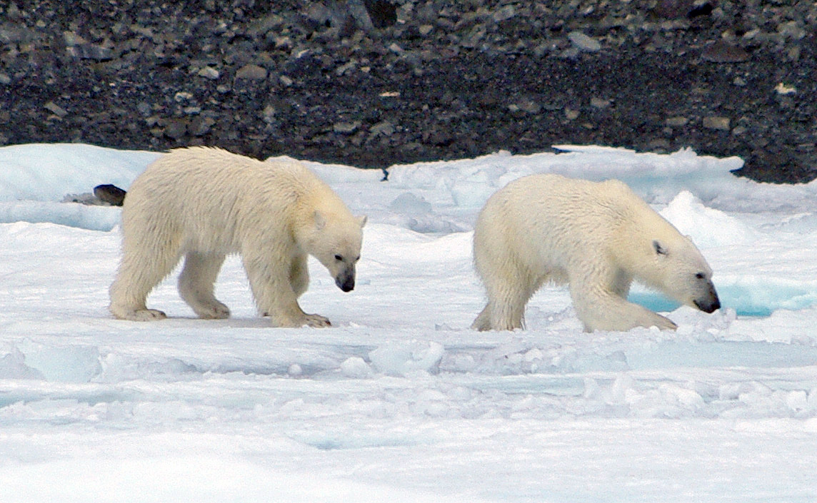 the polar bear and adaptations The polar bear is the largest living land carnivore non-retractable claws act like ice-picks, and the soles of the feet act like suction cups so the polar bear can easily walk on ice.