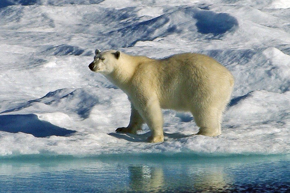 Polar Bear Facts and Adaptations - Ursus maritimus on map of polar bear range, map of canada polar bear, where does a polar bear live, maps where brown bears live, spectacled bears live, where do polar bears live, where does the polar bear live, map of where kodiak bears live, polar bear camera live, where do squids live, how long can polar bears live, where does an aardvark live, map of polar bear habitat, map of younger dryas, how long do bears live, a map of where bears live, wear do polar bears live, description of where polar bears live, diagram of where polar bears live, map where black bears live,