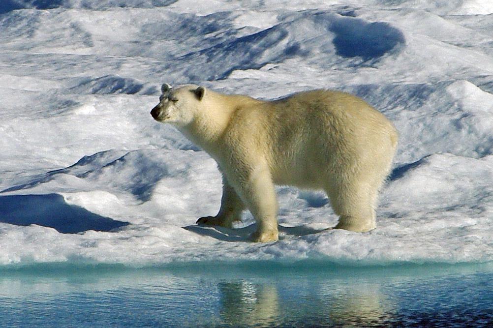 IMGP4179 polar bear facts and adaptations ursus maritimus