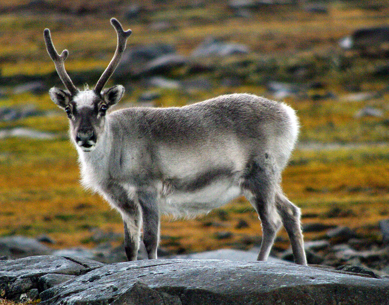 reindeer caribou of the arctic facts and adaptations rangifer