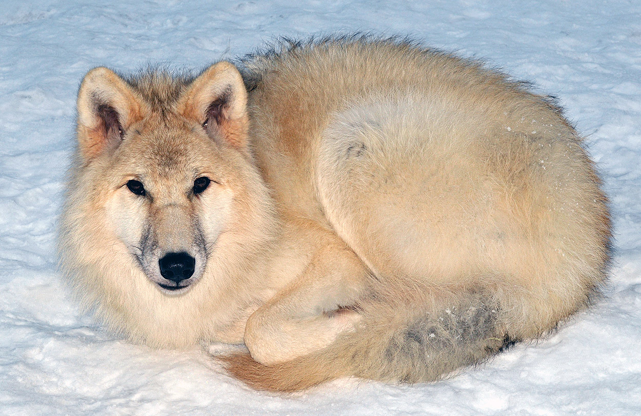 Arctic Wolf Facts And Adaptations Canis Lupus Arctos