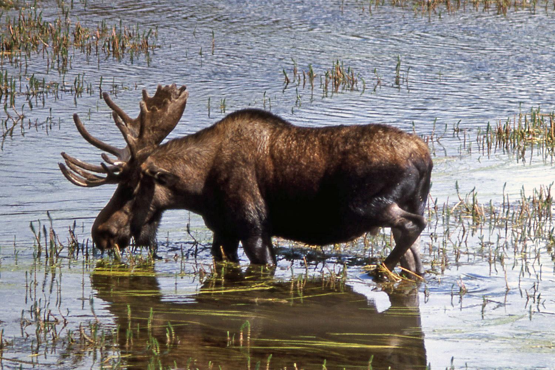 Moose Drinking Water