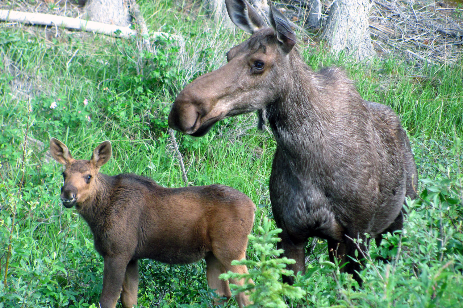 moose elk facts and adaptations alces alces