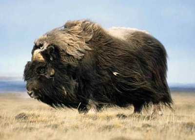 Musk Ox Facts And Adaptations Ovibos Moschatus
