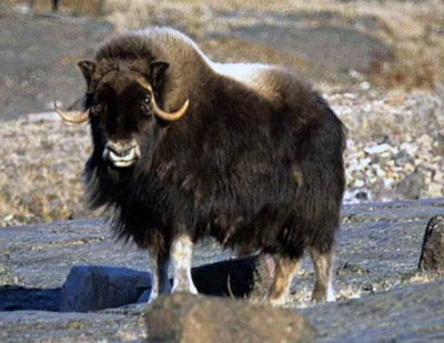 Musk Ox Facts and Adaptations - Ovibos moschatus