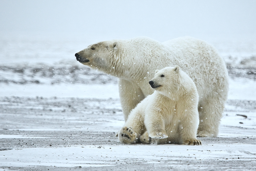 Polar Bear Facts and Adaptations - Ursus maritimus