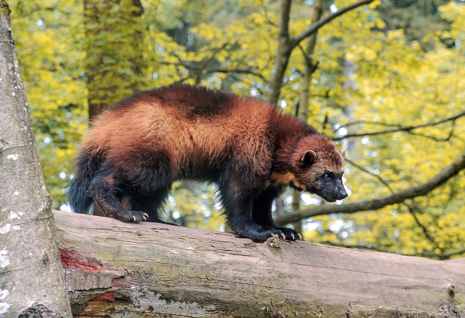 Show Me Pictures Of A Fisher Cat