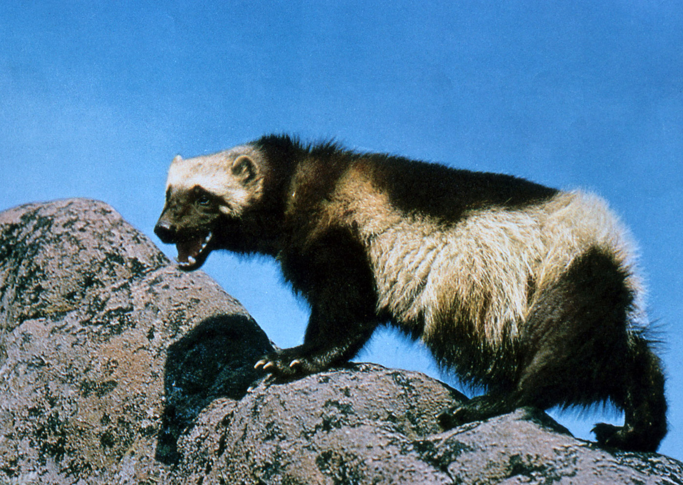 Wolverine Animal Facts And Adaptations Gulo Gulo