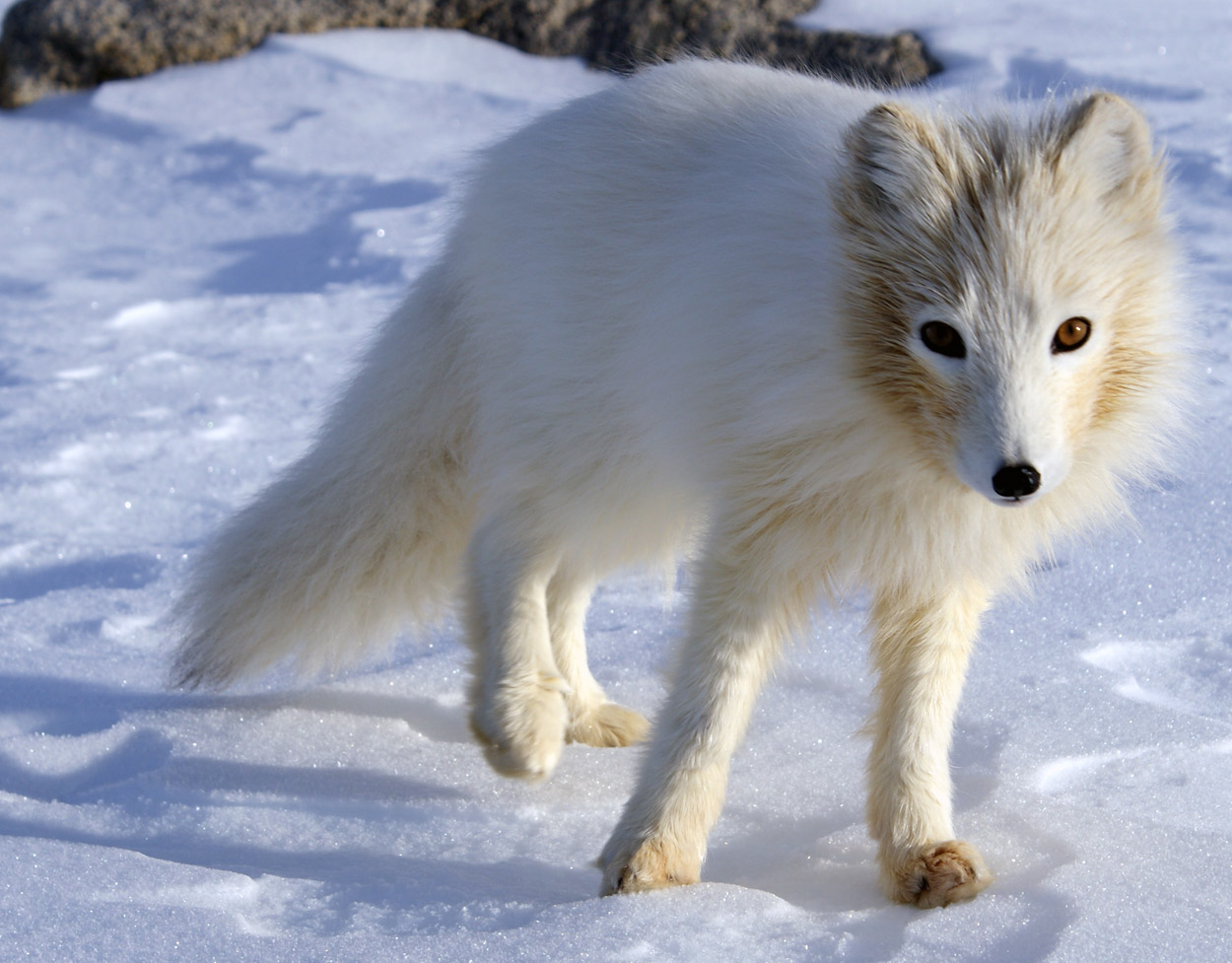 antarctica animals arctic fox polar wildlife facts antarctic foxes name animal adaptations habitat north winter wild cute lagopus environments fauna