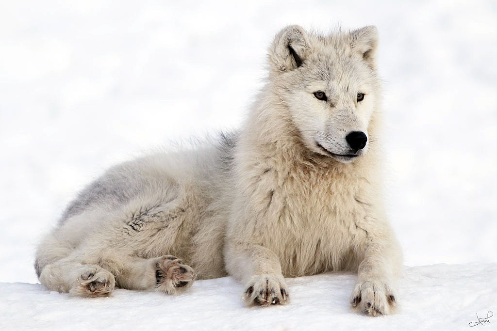 نتيجة بحث الصور عن Canis lupus