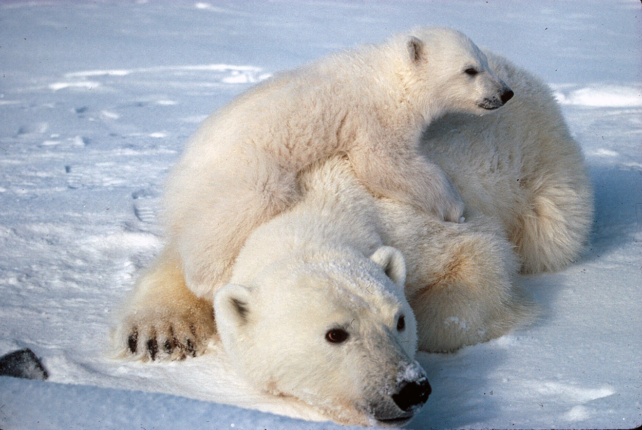 Polar Bear Facts And Adaptations Ursus Maritimus