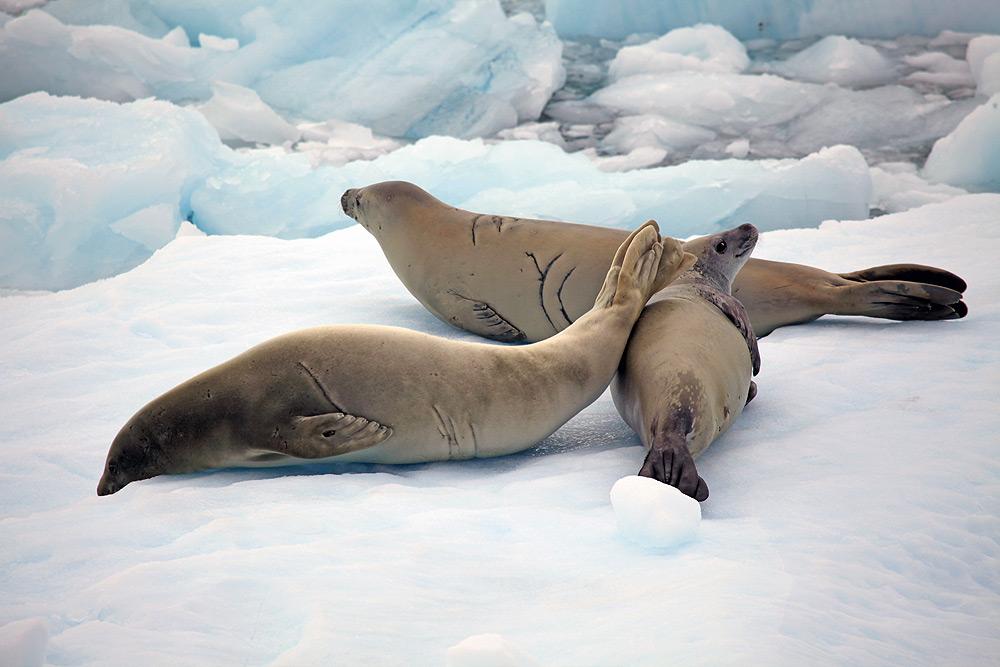 Crabeater Seals - Lobodon carcinophagus - Antarctica fact file