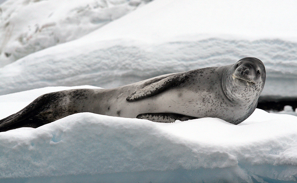 Leopard Seals - Hydrurga leptonyx - facts and pictures
