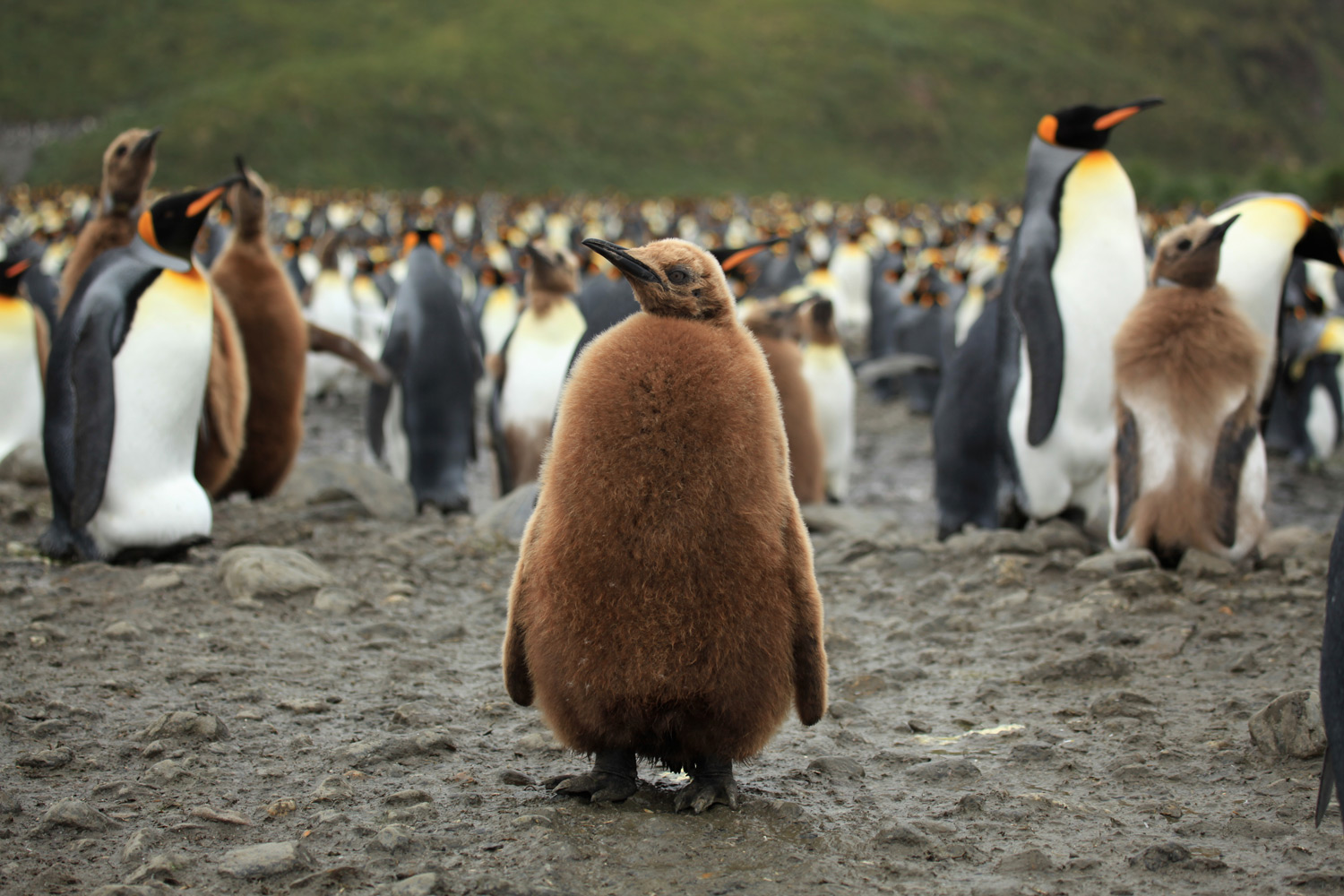 Baby emperor penguin stays with its parents at the polar house of - Blue Whale Picture Courtesy Noaa