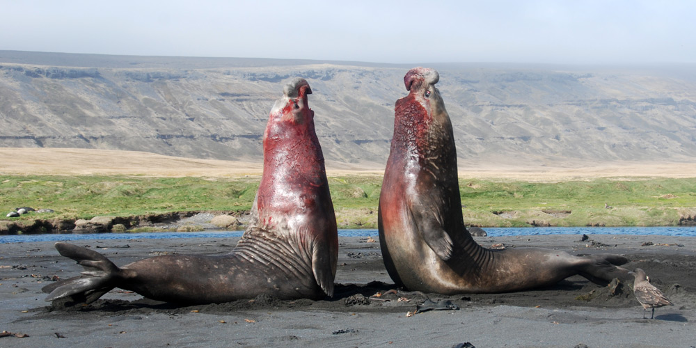 Southern Elephant Seals - Mirounga leonina - Antarctica ...