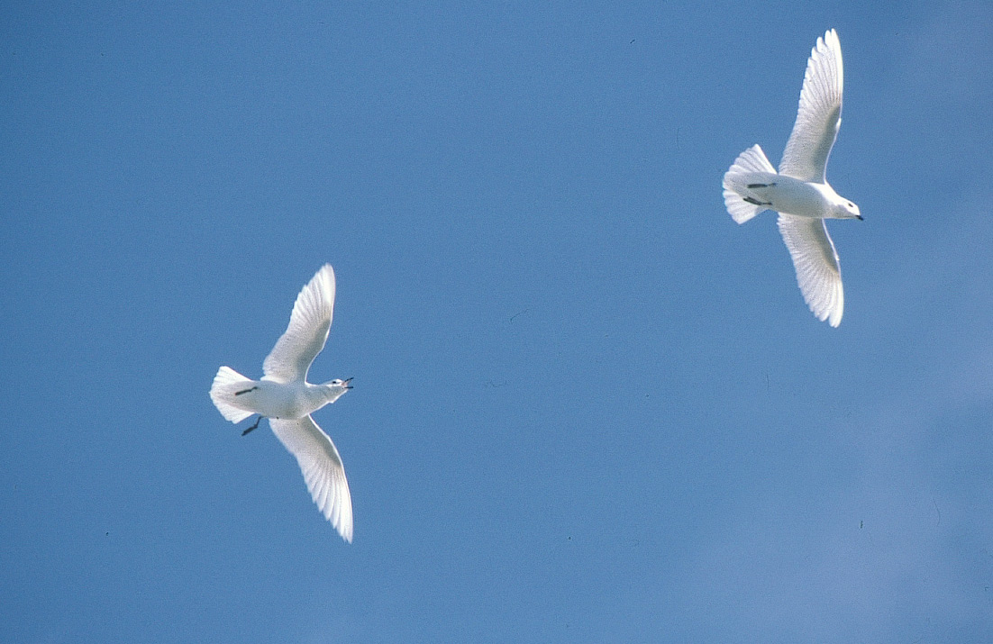 snow petrels antarctica fact file birds