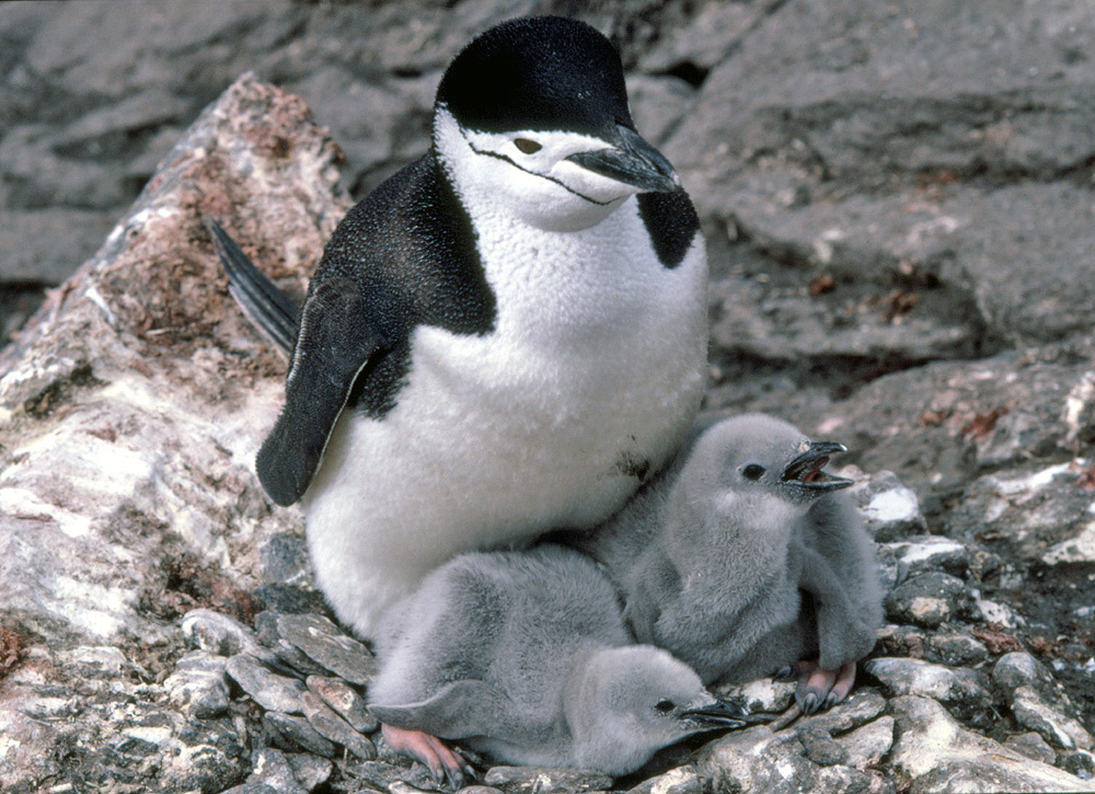 the characteristics of the chinstrap penguin a species of penguin from antarctica Penguins in antarctica adelie most penguin species spend the year at sea without staying with the chinstrap penguin resembles the numerous adelie.