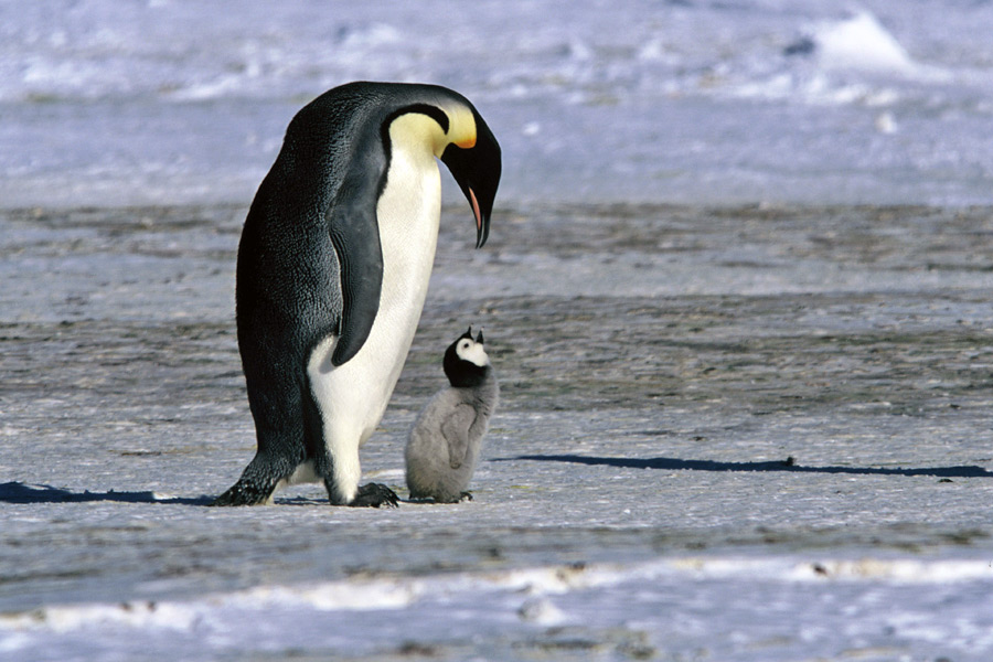 Antarctic animal adaptations