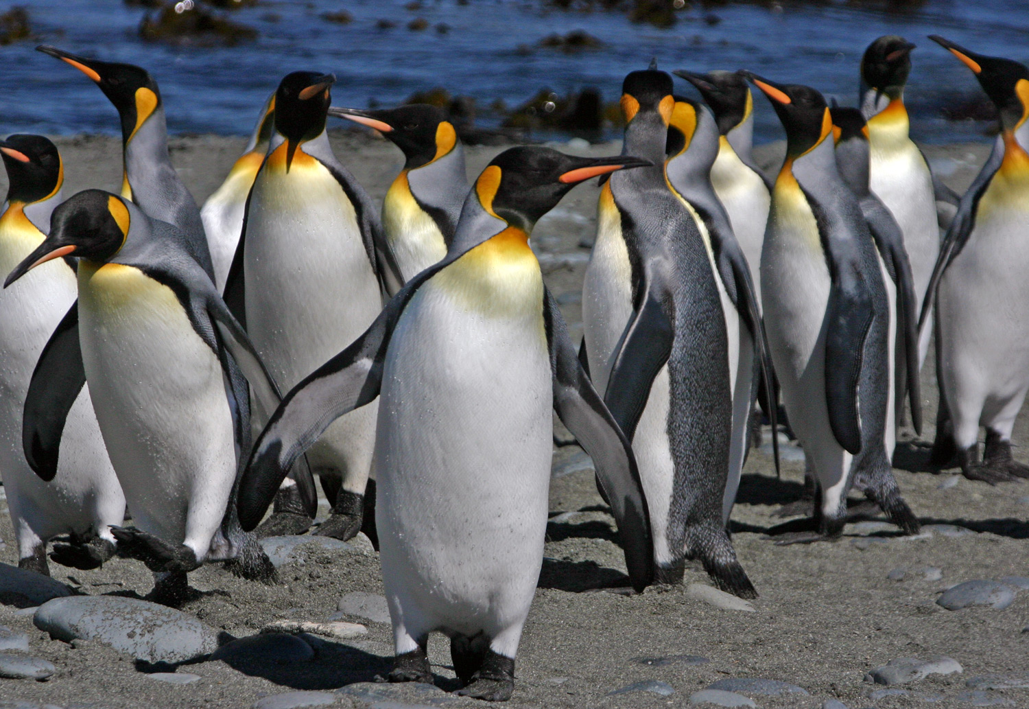 King Penguins Pictures And Facts