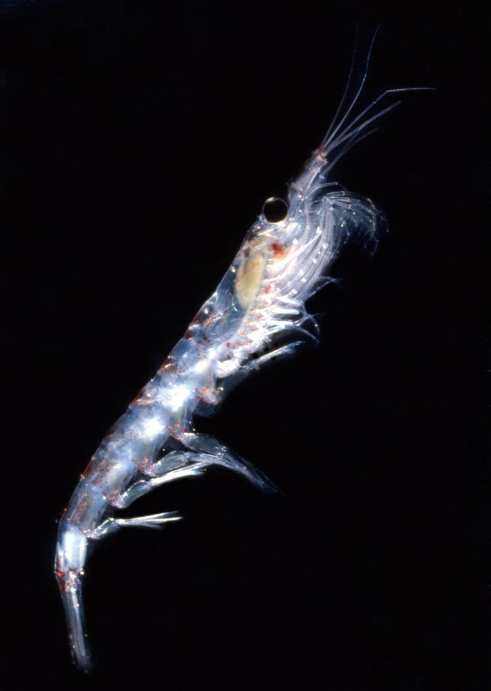 Krill in Antarctica, size, food, population, facts