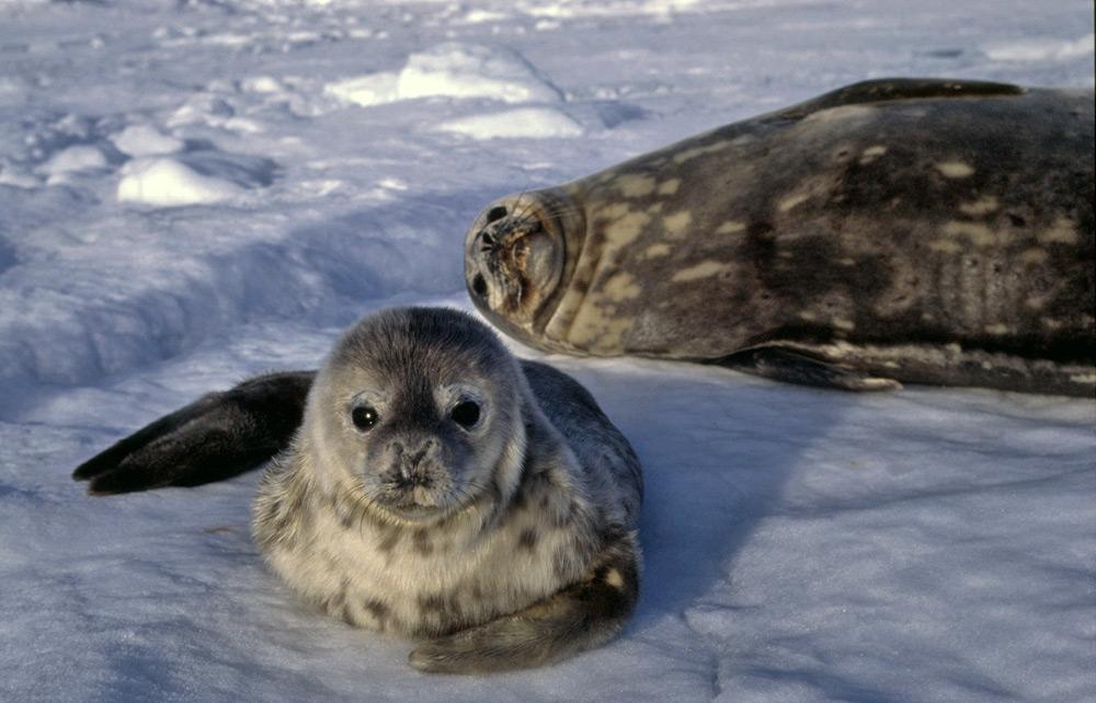 Weddell Seal Adaptations