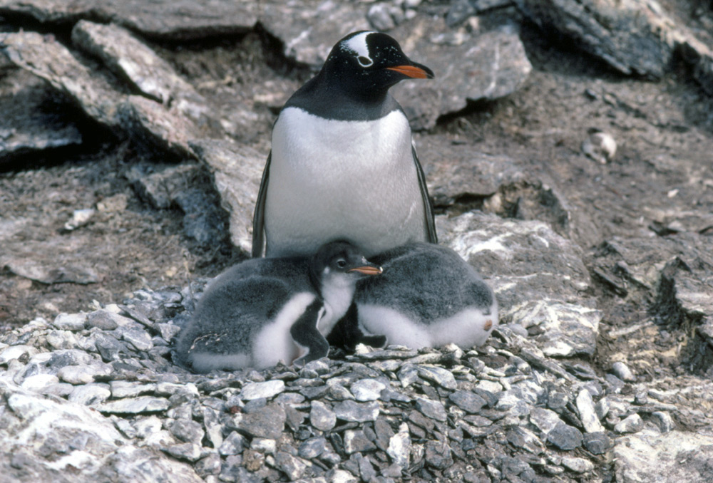Types Of Penguins Species Facts And Adaptations