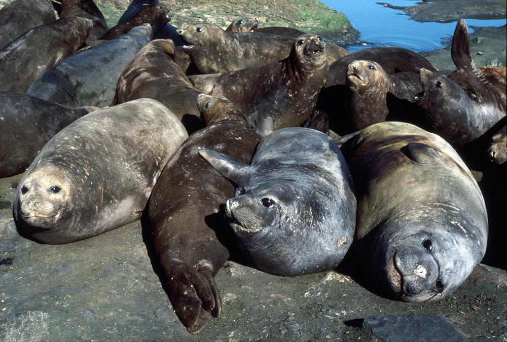 Southern Elephant Seals - Mirounga leonina - Antarctica fact file
