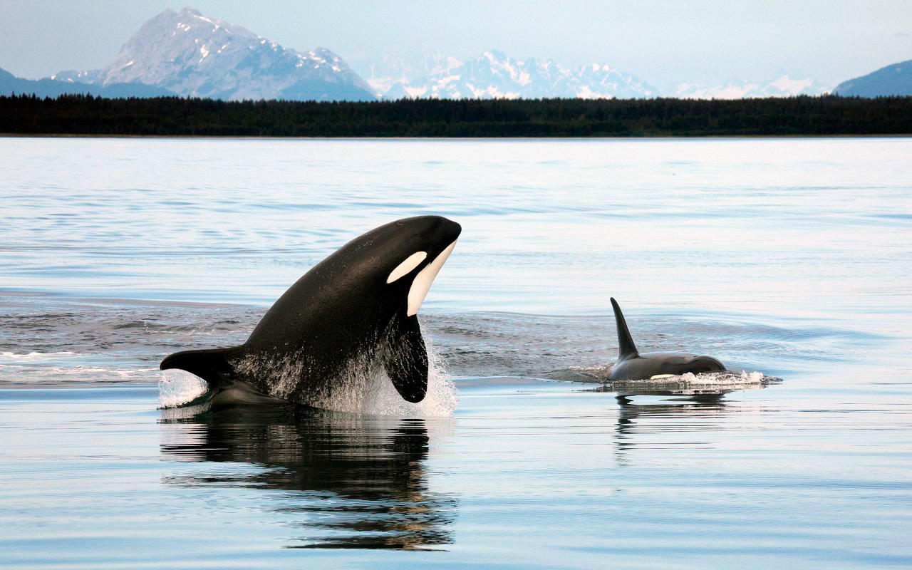 Killer whale  Facts and Adaptations  Orcinus orca in Antarctica