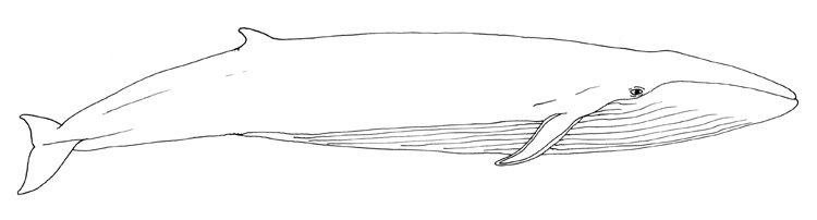 blue whale - Whale Outline