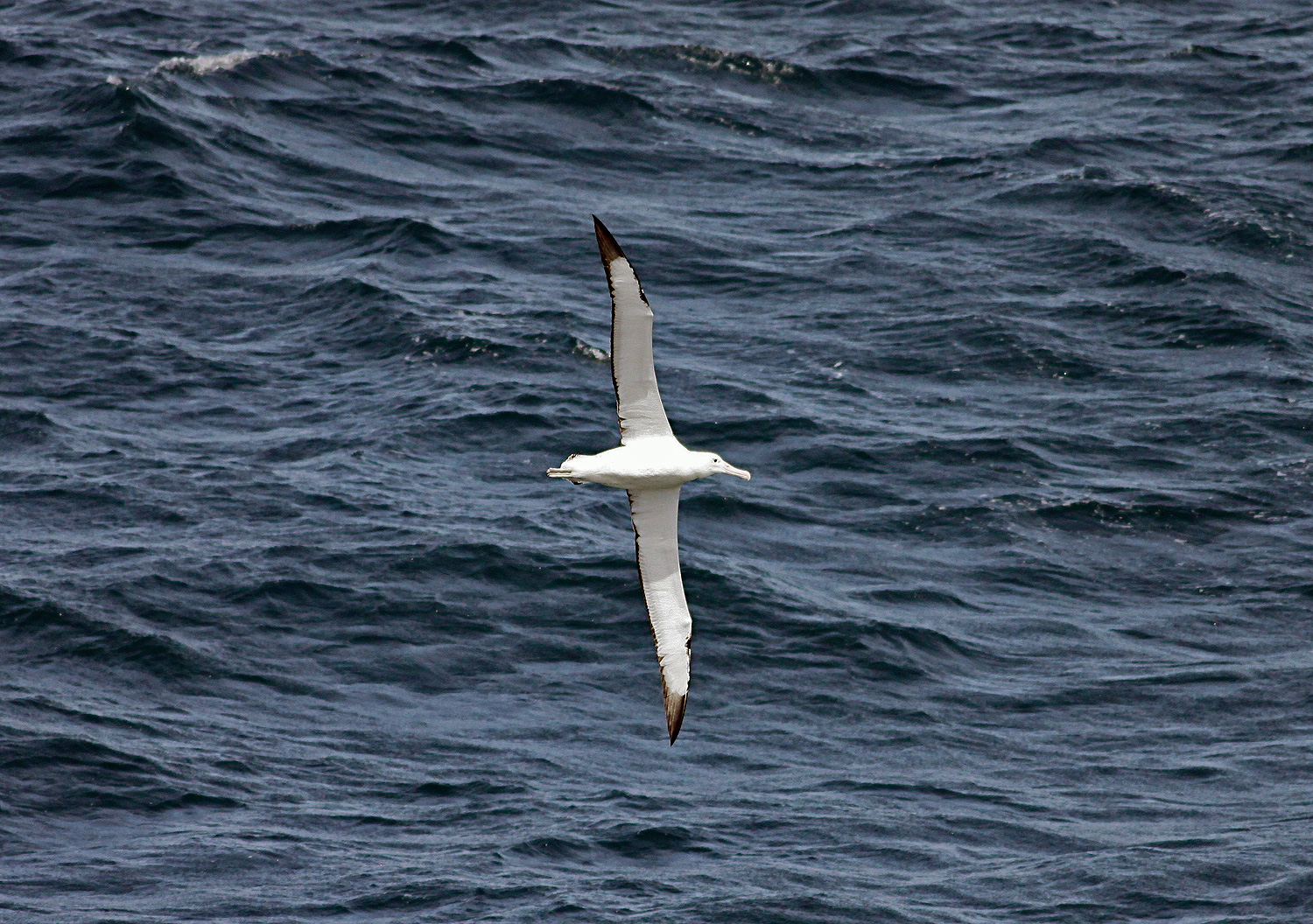 Wandering albatross diomedea exulans the bird which made the wandering albatross diomedea exulans the bird which made the wind to blow biocorpaavc Images