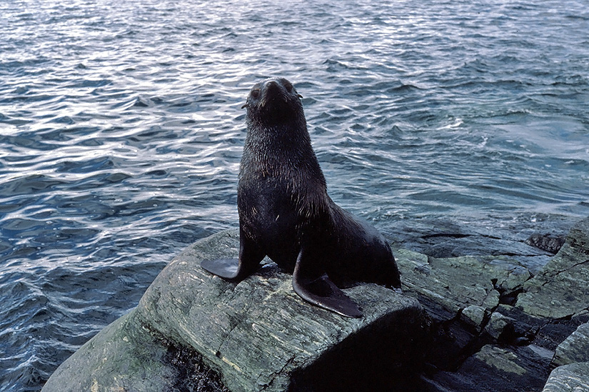 seal animal. Antarctic Animal Encounters