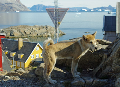 Uummannaq Town Harbour, Greenland With Sled Dog