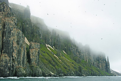Brunnich's Guillemots, Uria lomvia, nesting on cliffs - 1 - Svalbard