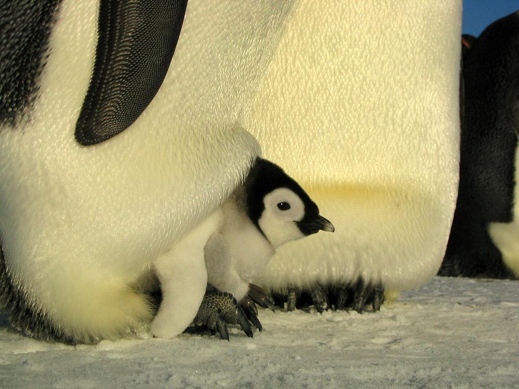 Emperor Penguin Adaptations