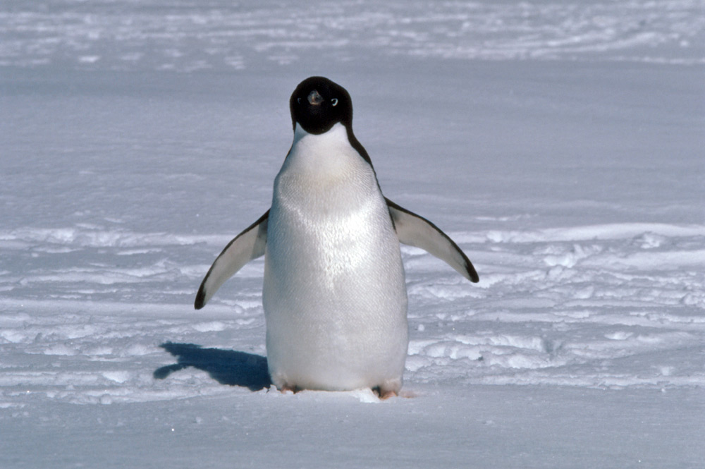 Adelie Penguin Pictures