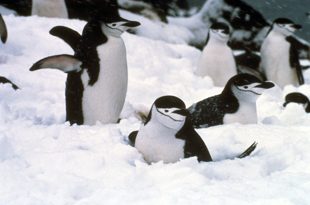 Animals Zoo Park Chinstrap Penguins Pictures Wallpapers
