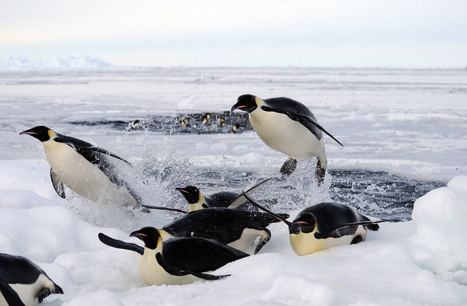 Emperor penguins returning from a fishing dive