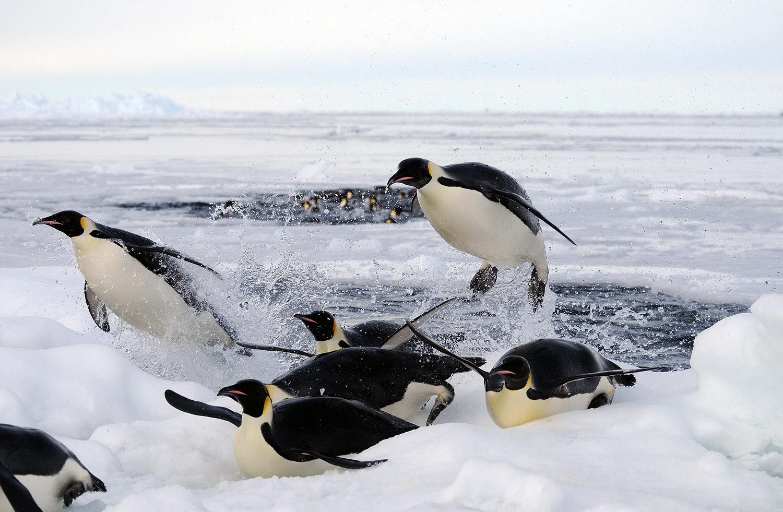 emperor penguin pictures aptenodytes forsteri page 1