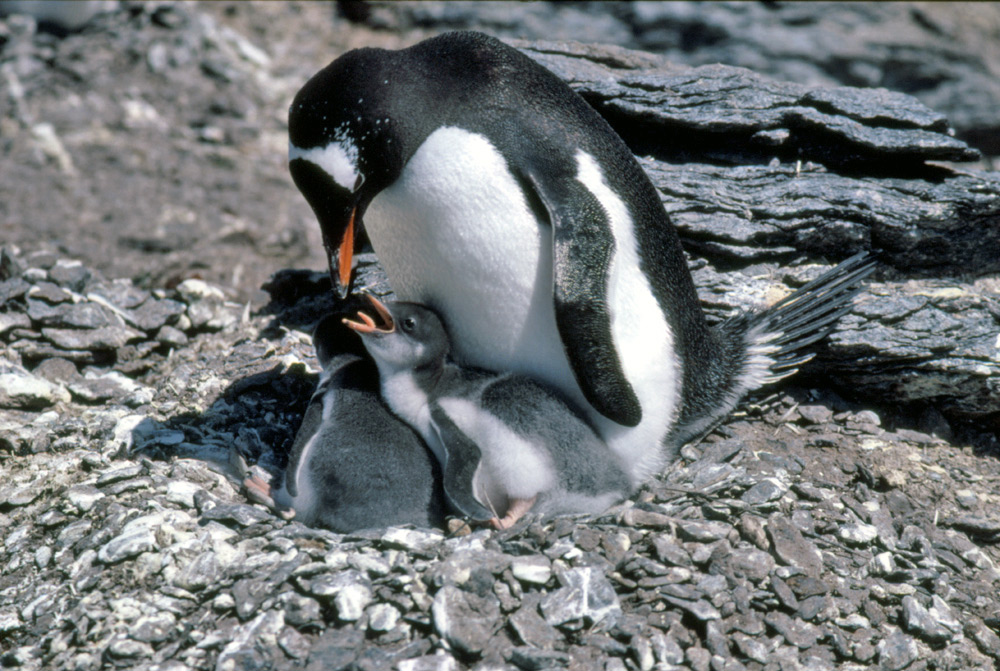 african animal gentoo penguin and babies