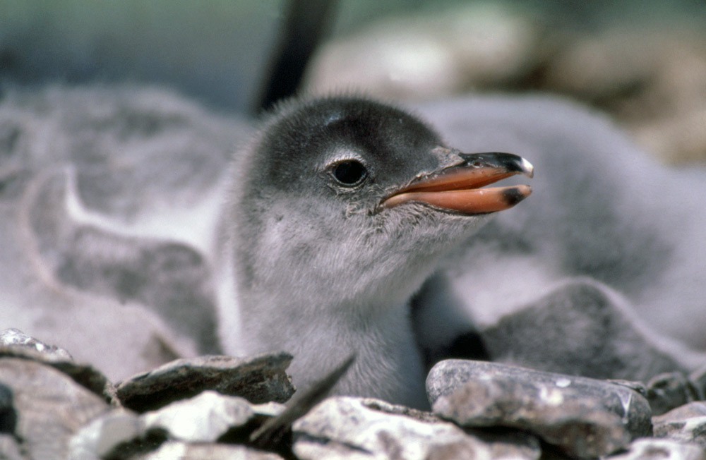 http://www.coolantarctica.com/gallery/penguins/gentoo_penguin5.jpg
