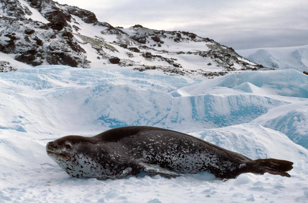 Leopard Seal, Hydruga leptonyx