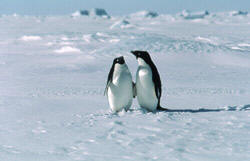 Penguins - an example of small vertical animals