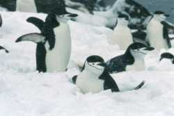 Chinstrap penguins after a summer snow shower