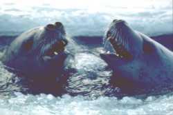 crabeater seals Antarctica