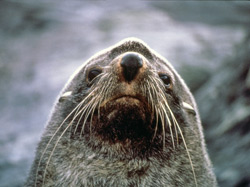southern fur seal, the target of early sealers
