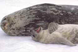 Weddell seal gives pup singing lessons
